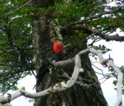 Patagonischer Specht
