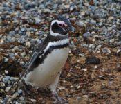 Pinguin Islote Conejo
