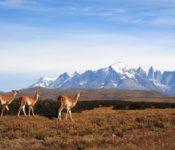 Torres del Paine NP Guanacos