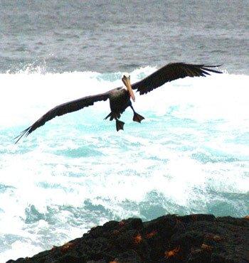 Individualreisen Ecuador - Pelikan auf Galapagos