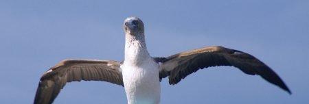 Blaufusstoelpel - Galapagos Kreuzfahrt war der Hammer