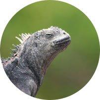 Galapagos Leguan