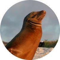 Seeloewe Galapagos