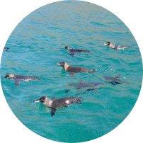 Galapagos Pinguine
