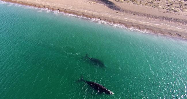 Peninsula Valdés Wale
